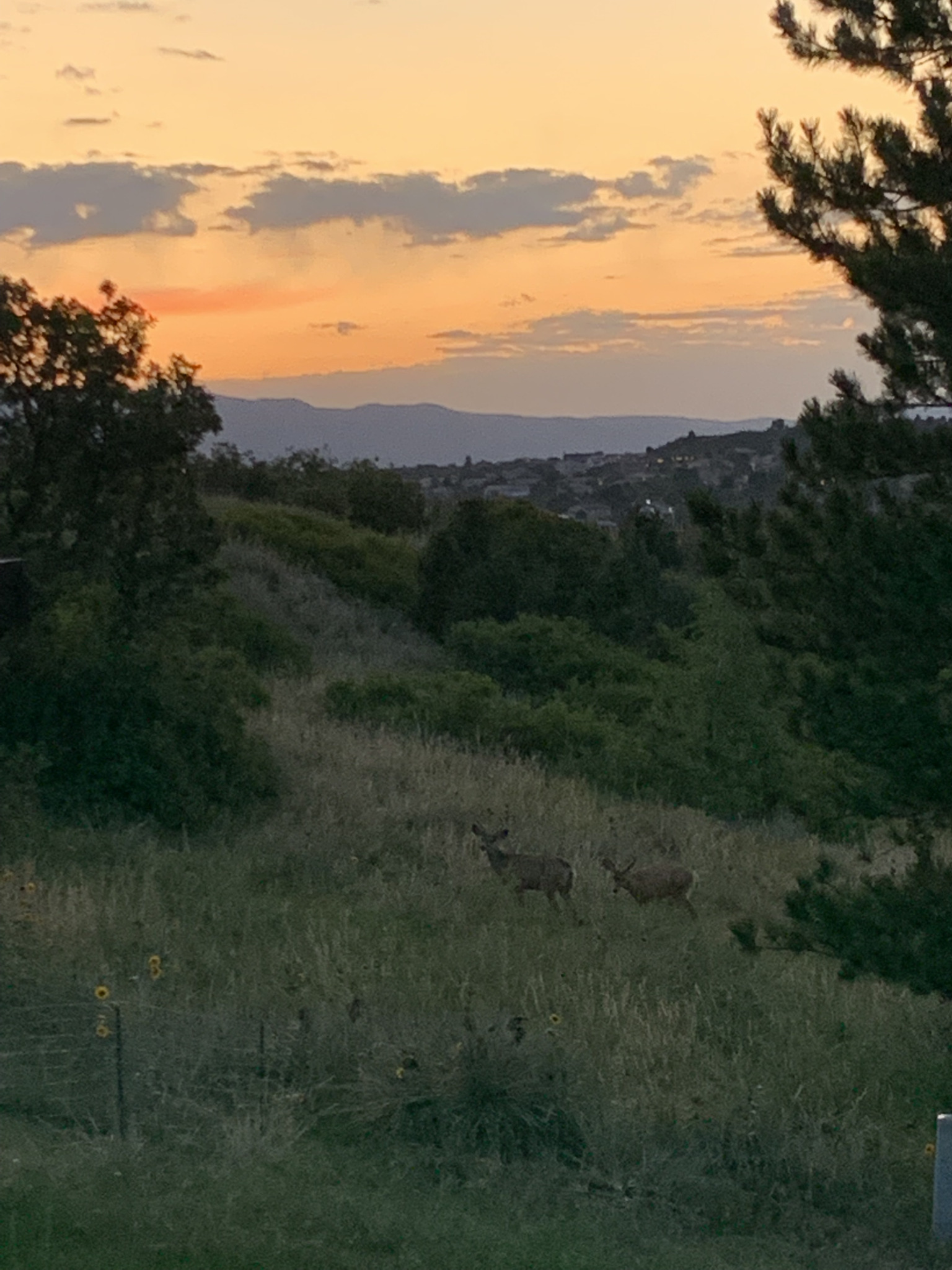Photo of deer in a meadow at sunset